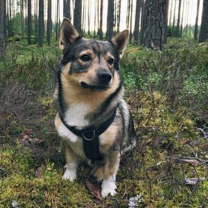 Alvar Hund im Wald